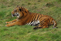 Sumatran Tiger - Panthera tigris sumatrae Stock Photography