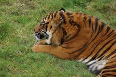 Sumatran Tiger - Panthera tigris sumatrae Stock Images