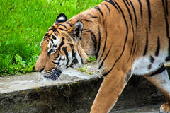 Sumatran tiger Royalty Free Stock Photography