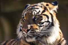 Sumatran Tiger, Panthera tigris sumatrae Royalty Free Stock Photos