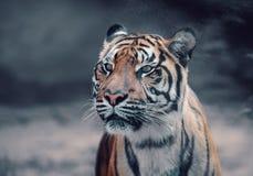 Sumatran Tiger, Panthera tigris sumatrae royalty free stock image