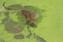 Sumatran tiger. (Panthera tigris sumatrae) swimming in a lake royalty free stock photography
