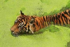 Sumatran tiger. (Panthera tigris sumatrae) swimming in a lake stock image