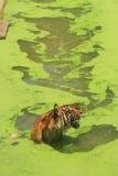 Sumatran tiger. (Panthera tigris sumatrae) swimming in a lake stock photography