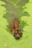 Sumatran tiger. (Panthera tigris sumatrae) swimming in a lake royalty free stock image