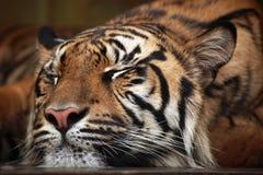 Sumatran tiger (Panthera tigris sumatrae). Stock Image