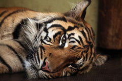 Sumatran tiger (Panthera tigris sumatrae). Royalty Free Stock Images