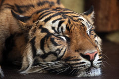 Sumatran tiger (Panthera tigris sumatrae). Stock Photos