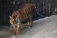 Sumatran tiger (Panthera tigris sumatrae). royalty free stock photos
