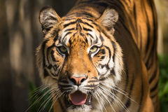 Sumatran Tiger, Panthera tigris sumatrae Stock Photo