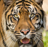 Sumatran Tiger, Panthera tigris sumatrae Royalty Free Stock Images