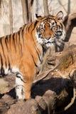 Sumatran tiger, Pantheratigris sumatrae Royaltyfria Bilder