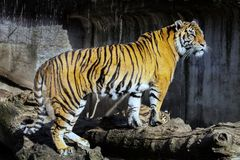 Sumatran tiger, Pantheratigris sumatrae Arkivbilder