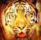 Sumatran tiger, Pantheratigris sumatrae Arkivfoton