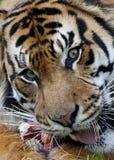 Sumatran Tiger Portrait Stock Images