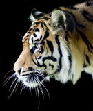Sumatran Tiger Profile Royalty Free Stock Photo