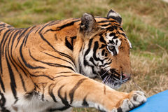 Sumatran tiger reaching for a toy Royalty Free Stock Photo