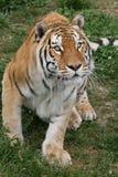 Sumatran Tiger Ready a saltar Imagenes de archivo