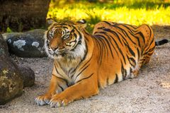 A Sumatran tiger, relaxed but alert. A magnificent Sumatran tiger Panthera tigris sondaica enjoying the shade in a zoo enclosure. These animals are critically royalty free stock photo