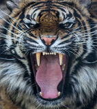 Sumatran tiger roar. Critically endangered species with only around 140 left in the wild.  Global tiger day July 29th Stock Photography