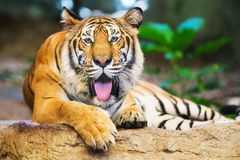 Sumatran Tiger Roaring Royalty Free Stock Photos