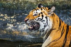 Sumatran Tiger Roaring Royalty Free Stock Photo