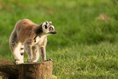 A Ring Tailed Lemur. A Ring Tailed Lemur sitting alone in a UK zoo Royalty Free Stock Images