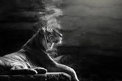 Sumatran tiger sitting on the rock. A sumatran tiger photo in black and white photo royalty free stock images