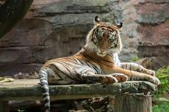 Sumatran tiger sitting on the rock. A sumatran tiger relaxing in the morning, enjoying sunlight royalty free stock image
