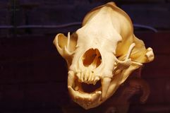 Sumatran tiger skull Royalty Free Stock Image