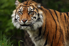 Sumatran Tiger Smile. Closeup of a critically endangered Sumatran Tiger sensing danger Royalty Free Stock Image