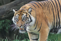 Sumatran Tiger snarls. Close-up. Royalty Free Stock Photography