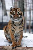 Sumatran tiger in snow Stock Photography