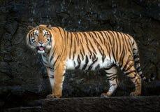 Sumatran tiger standing amidst nature. stock images