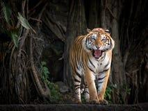 Sumatran tiger. Sumatran tiger standing in a forest atmosphere stock photos