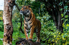 Sumatran tiger. Standing on the rain in Dublin zoo Royalty Free Stock Image
