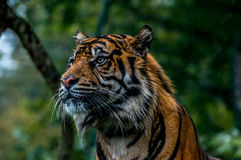 Sumatran tiger. Standing on the rain in Dublin zoo Stock Images
