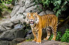 Sumatran tiger. Standing on the rock and facing the camera Stock Images