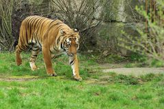 Sumatran Tiger - Sumatran Tiger Stock Photo
