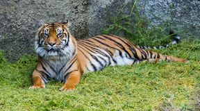 Sumatran Tiger. Also known as Panthera tigris sumatrae trying to smile stock image