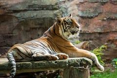 Sumatran tiger sun bathing. Sumatran tiger enjoying sun bathing stock photography