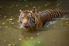 Sumatran tiger swimming in the pond. A sumatran tiger swimming in the pond in the morning to cooling down its body temperature royalty free stock photography