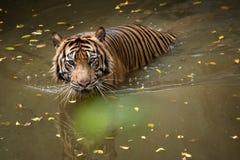 Sumatran tiger swimming in the pond. A sumatran tiger swimming in the pond in the morning to cooling down its body temperature royalty free stock image