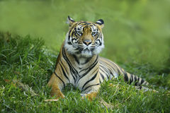 Sumatran Tiger Stock Images