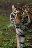 Sumatran tiger very rare on their habitat Royalty Free Stock Photography