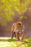 Sumatran Tiger Walking Forward Royalty Free Stock Photos