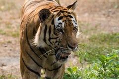 A Sumatran Tiger walks slowly towards camera Royalty Free Stock Photography