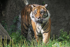Sumatran Tiger in the Warsaw Zoo Stock Photography