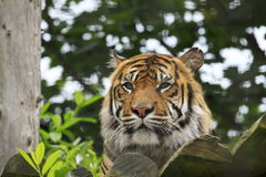 A Sumatran Tiger Royalty Free Stock Photos