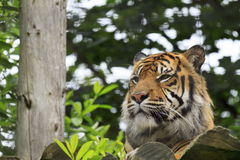 A Sumatran Tiger. Watches from his platform at Chester Zoo royalty free stock photography